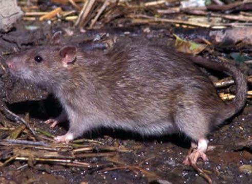 Крысиный сыпной тиф