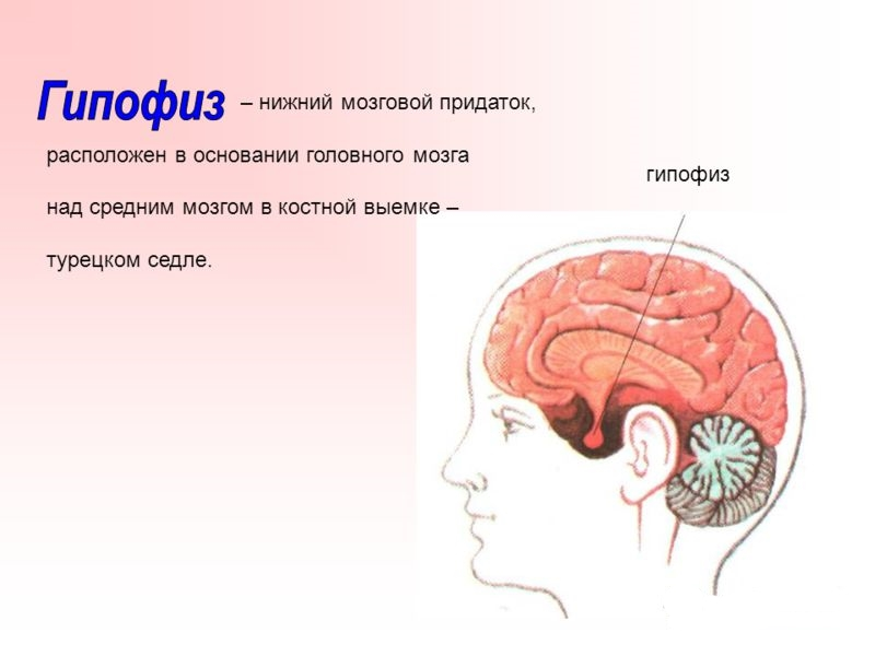гипофиз